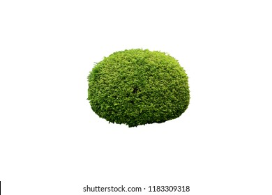shrubbery, Green hedges isolated on white background.