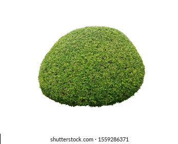 shrubbery, Green hedges isolated on white background with clipping path, shrub for garden decoration.