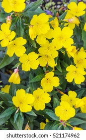 Shrubby evening primrose (Oenothera fruticosa L. ). Ornamental hardy perennial plant with yellow flowers