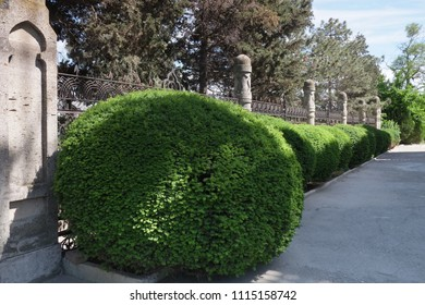 Shrubs in the form of balls near the old fence.