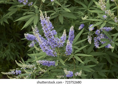 shrubs with lavender flowers