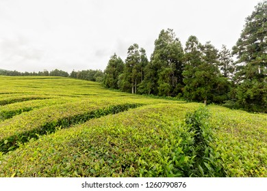 Shrubs of tea growing at the Gorreana tea plantation on Sao Miguel island in Portugal.