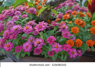 Shrup of little flowers of Chrysanthemum or Dok Kek Huai or Benchamat Nu in Central Thai Dialect grown in a stout urn looking vividly colourful and fresh