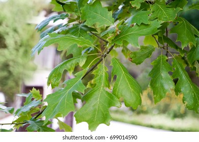 Shumard Oak leafs, Quercus Shumardii