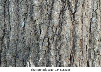 The Shumard Oak tree bark is often found in urban areas. It is also known as Quercus shumardii, spotted, Schneck, and  swamp red oak are other names for this bark, one of the largest red oaks.