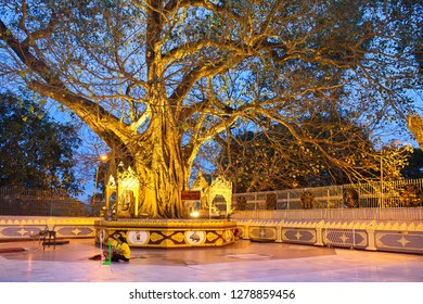Shwedagon Zedi Daw temple, Myanmar - October 4, 2018: Old Sacred fig tree in Shwedagon Zedi Daw temple