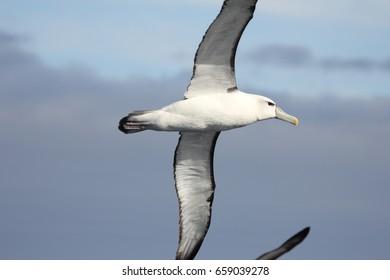A shy albatross in flight