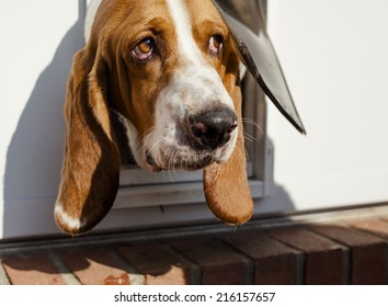 Shy Basset hound poking head out of its dog door