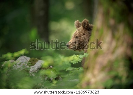 A shy bear hiding behind a pine tree in southern Slovenia