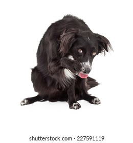 A shy Border Collie Mix Breed Dog cowering and extending its paw for a friendly shake.