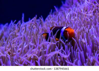 Shy Clownfish hiding in aquarium reef