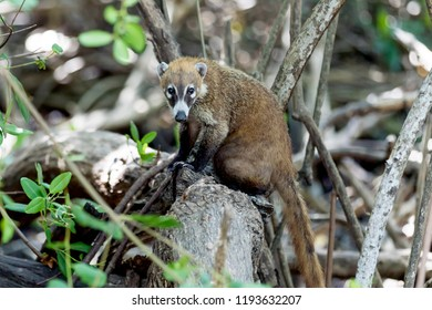 Shy and cuddly Coati or coatimundi sat on a branch or tree trunk in the Mexican Jungle in the caribbean on the Riviera Maya