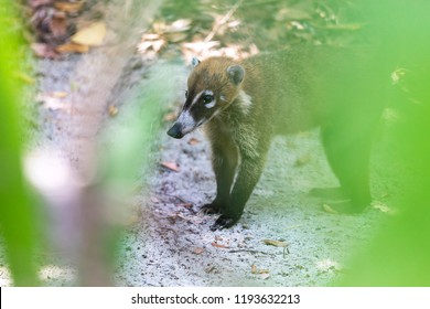 Shy and cuddly Coati or coatimundi wearily peeking through a gap in the sun loungers in a Mexico an all inclusive beach resort looing for food
