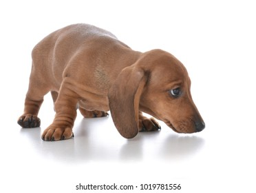 shy dachshund moving in for a look isolated on white background