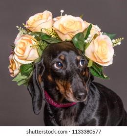Shy dachsund dog in a flower crown, portrait square format.