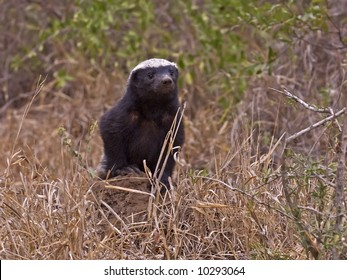 Shy but dangerous the Honey Badger is rarely seen