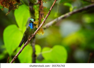 Shy, dark hummingbird with sparkling green crown,iridescent throat and breast, Napo Sabrewing, Campylopterus villaviscensio perched on diagonal twig,front view. Blurred green forest background.