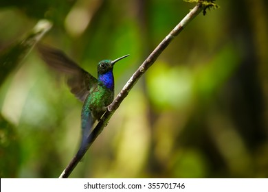 Shy, dark hummingbird with sparkling green crown,iridescent throat and breast, Napo Sabrewing, Campylopterus villaviscensio perched on diagonal twig,outstretched wings.Blurred sunny forest background.