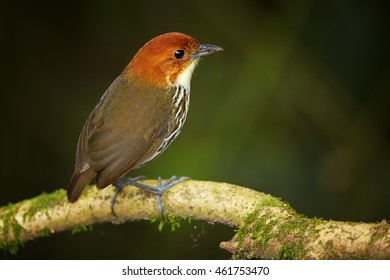 Shy and difficult to see ecuadorian bird, Grallaria ruficapilla, Chestnut-crowned Antpitta. Bird secretly living in undergrowth of rainforest, perched on branch. Refugio Paz, Ecuador.