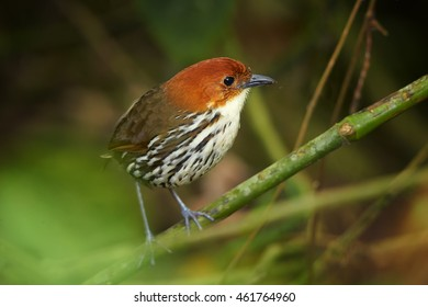 Shy and difficult to see ecuadorian bird, Grallaria ruficapilla, Chestnut-crowned Antpitta. Bird secretly living in rainforest, perched on branch. Refugio Paz, Ecuador.