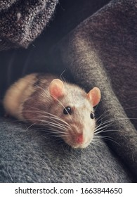 Shy Dumbo rat with long whiskers, big ears and bright eyes. Fancy rat. Rattus Norvergicus