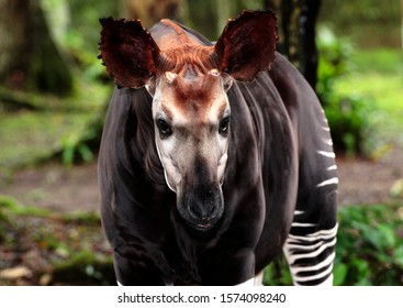 The shy and elusive Okapi is endemic to the tropical rainforests of the Congo and is a close relative to the giraffe and is also a diurnal browser