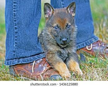 Shy German Shepherd puppy, five weeks lying between a persons legs.