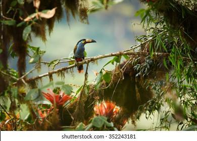Plaché vysoké nadmořské výšky andean barevné Deska účtované hora Toucan Andigena laminirostris posazený na mechové větvi mezi bromeliad květy v typickém prostředí oblačnosti lesa.