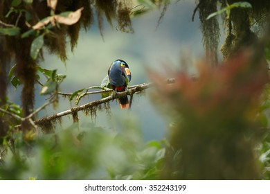 Shy high altitude andean colorful Plate-billed Mountain Toucan Andigena laminirostris perched on mossy branch among bromeliad flowers in typical environment of cloud forest.