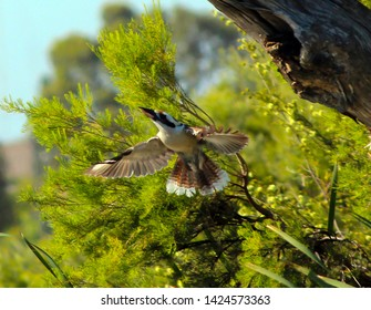 A  shy  Kookaburra (genus Dacelo) or Laughing Jackass  terrestrial tree kingfisher native to Australia flying off from a eucalypt gum tree branch enjoys the late  afternoon winter sunshine.