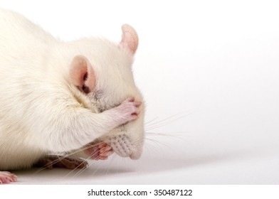 shy lab rat closes his eyes with paw like being ashamed, closeup