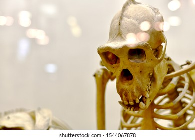 A shy, shy monkey skeleton across the chest. - Shutterstock ID 1544067878
