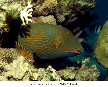 Shy orange-lined triggerfish inside a coral crevice