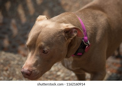 Shy pit bull looking away.