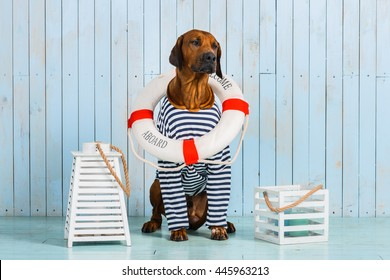 Shy Rhodesian Ridgeback dog-sailor with lifebuoy around neck