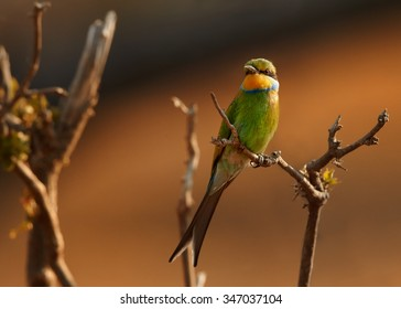 Shy Swallow-tailed Bee-eater Merops hirundineus adult, perched on branch with orange distant background, Chobe national park, Botswana, August.