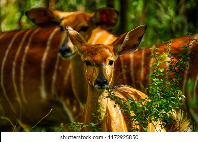A shy young Nyala in the dappled light in Africa's oldest proclaimed game reserve, Hluhluwe-Imfolozi Game Reserve, in KwaZulu-Natal, South Africa
