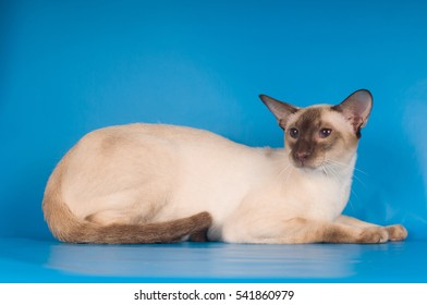 Siam cat lying portrait on blue background