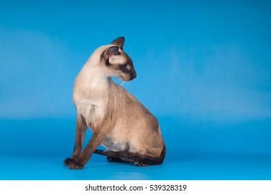 Siam cat on blue