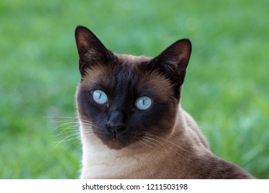 Siam Cat Portrait with blue eyes close up