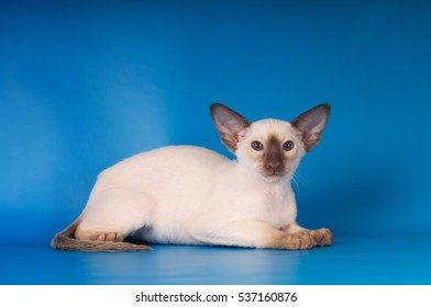 Siam lying kitten portrait on blue background looking at camera