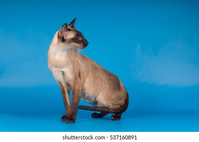 Siam standing cat profile portrait on blue background