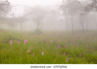 Siam tulip or Curcuma alismatifolia