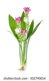 Siam tulip or Curcuma flower in Thailand on white background