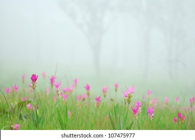 Siam Tulip field on fog