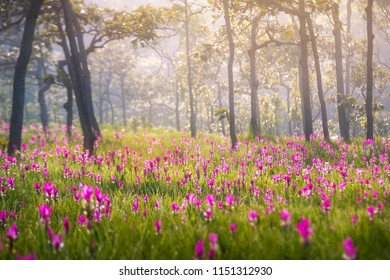 Siam tulip field Thung Bua Sawan View Point (Thung Dok Krachieo) at Sai Thong National Park Chaiyaphum Thailand