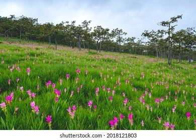 Flores de Siam Tulip en el suelo en el Parque Nacional de Saithong