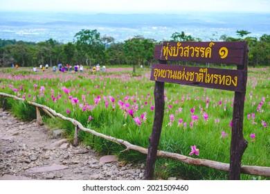 Siam Tulip florece en el suelo en el Parque Nacional de Saithong. TRADUCCIÓN DE TEXTO: Parque nacional Thung Bua Sawan 1 Saithong