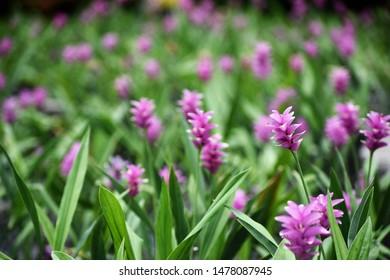 Siam Tulip flowers( Scientific name: Curcuma Alismatofolia )