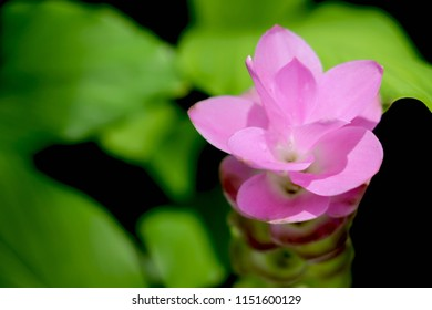 Siam Tulip (known as the Krajiew Flower) on green background. Close up of beautiful pink flower.